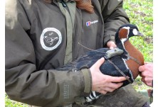 Официално беше приет плана за опазване на червеногушата гъска в България